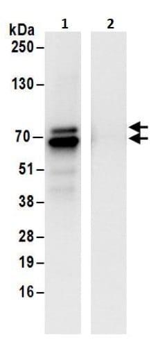 Immunoprecipitation - Anti-ZNF703 antibody (ab241069)