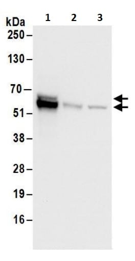 Western blot - Anti-ZNF703 antibody (ab241069)