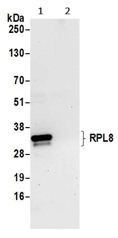 Immunoprecipitation - Anti-RPL8 antibody (ab241091)