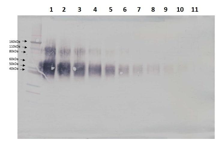 Western blot - Biotin Anti-IL-4R antibody (ab241113)