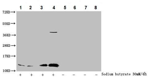 Western blot - Anti-Histone H4 (acetyl K91) antibody (ab241118)