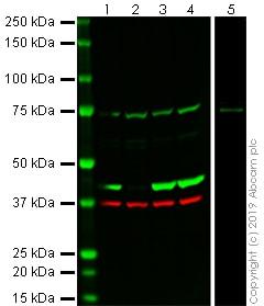 Western blot - Anti-beta Actin antibody [EPR21242] (ab241153)