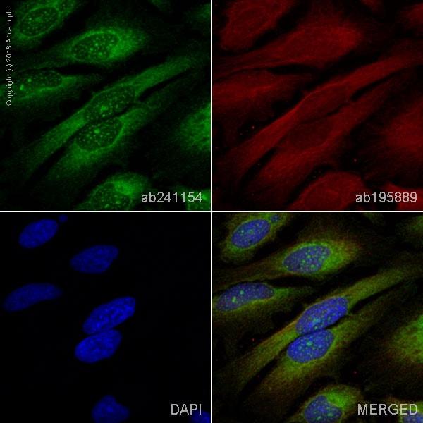 Immunocytochemistry/ Immunofluorescence - Anti-Calnexin antibody [EPR21240] (ab241154)