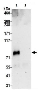 Immunoprecipitation - Anti-CMIP antibody (ab241165)