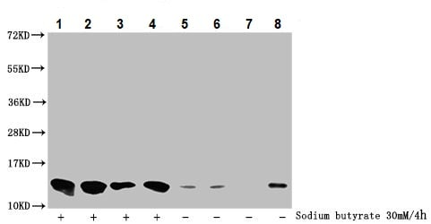 Western blot - Anti-Histone H4 (butyryl K8) antibody (ab241246)