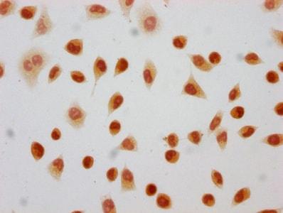 Immunocytochemistry - Anti-Histone H4 (2-hydroxyisobutyryl K8) antibody (ab241250)