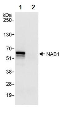 Immunoprecipitation - Anti-NAB1 antibody (ab241305)