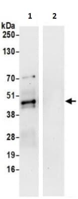 Immunoprecipitation - Anti-Tal1 antibody (ab241309)