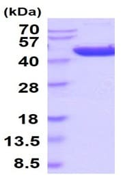 SDS-PAGE - Recombinant human HAO1/GOX protein (Active) (ab241318)