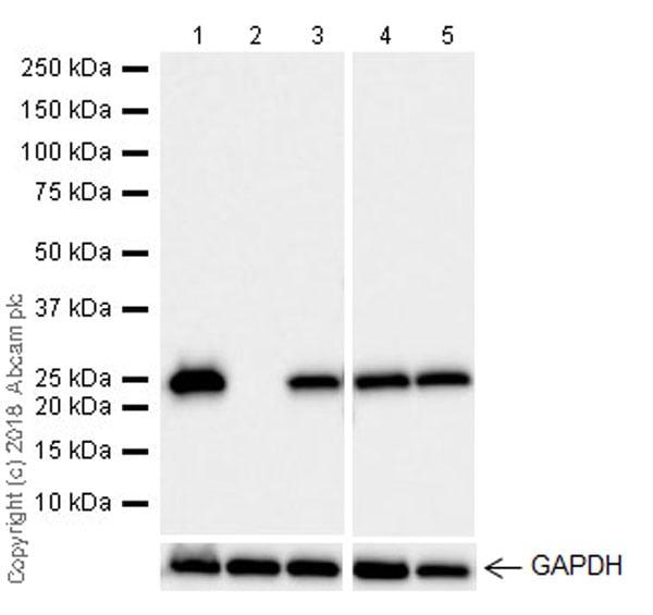 Western blot - Anti-GST3 / GST pi antibody [EPR20554] (ab241331)