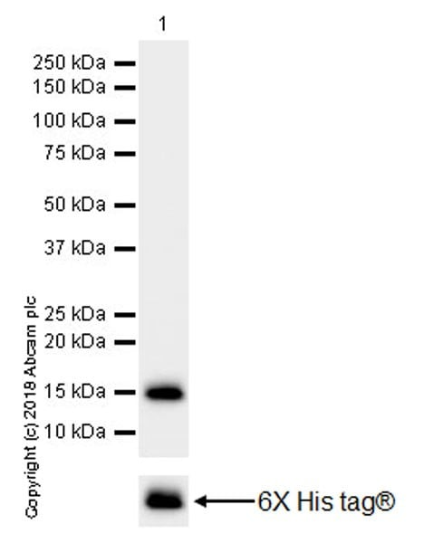 Western blot - Anti-GNLY/Granulysin antibody [EPR22110-101] (ab241333)
