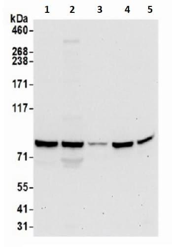 Western blot - Anti-GFM1 antibody (ab241340)