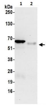 Immunoprecipitation - Anti-eIF3l antibody (ab241344)
