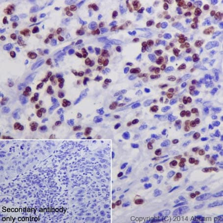 Immunohistochemistry (Formalin/PFA-fixed paraffin-embedded sections) - Anti-GATA1 antibody [EPR17362] - BSA and Azide free (ab241393)