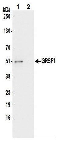 Immunoprecipitation - Anti-GRSF1 antibody (ab241399)