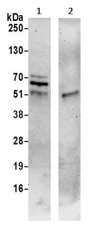 Immunoprecipitation - Anti-SPS2L/SPATS2L antibody (ab241402)