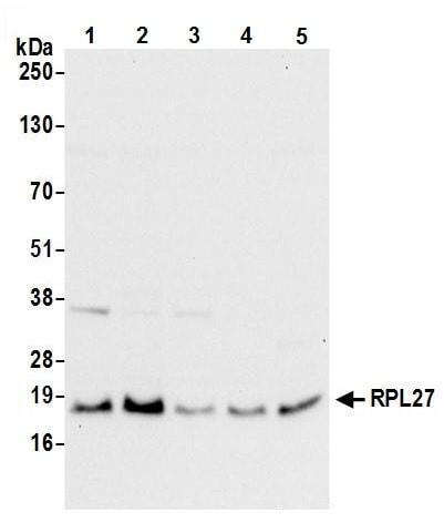 Western blot - Anti-RPL27/RPL27A antibody (ab241409)