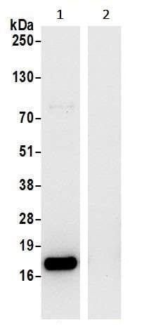 Immunoprecipitation - Anti-RPL27/RPL27A antibody (ab241417)
