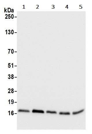 Western blot - Anti-RPS15A antibody (ab241420)