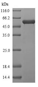 SDS-PAGE - Recombinant Chinese hamster P4HB protein (His tag) (ab241446)