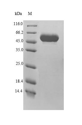 SDS-PAGE - Recombinant Human MINPP1 protein (His tag) (ab241455)