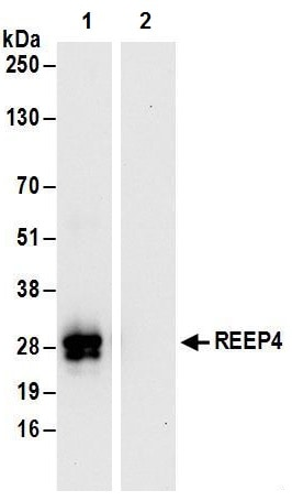 Immunoprecipitation - Anti-REEP4 antibody (ab241488)