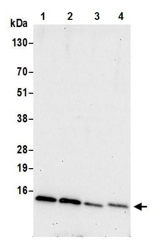Western blot - Anti-NDUFA5 antibody (ab241492)