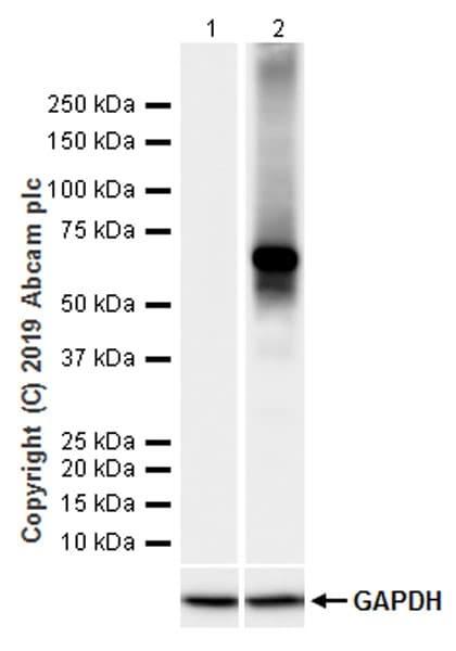 Western blot - Anti-Firefly Luciferase antibody [LAS126A] (ab241541)