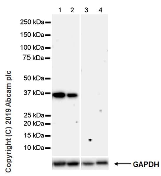 Western blot - Anti-Cdk6 antibody [98D] (ab241554)
