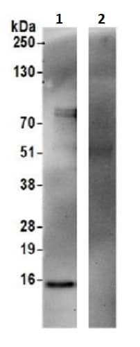 Immunoprecipitation - Anti-MAGMAS antibody (ab241606)