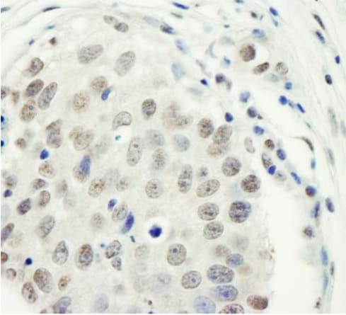 Immunohistochemistry (Formalin/PFA-fixed paraffin-embedded sections) - Anti-ZC3H11A antibody (ab241612)