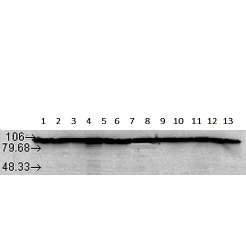 Western blot - Anti-Hsp90 antibody [Hyb-K41220A] (ab241995)