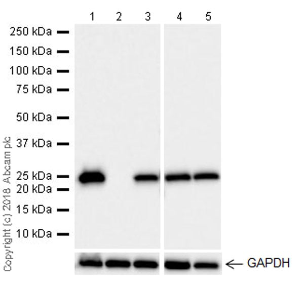 Western blot - Anti-GST3 / GST pi antibody [EPR20554] - BSA and Azide free (ab242014)