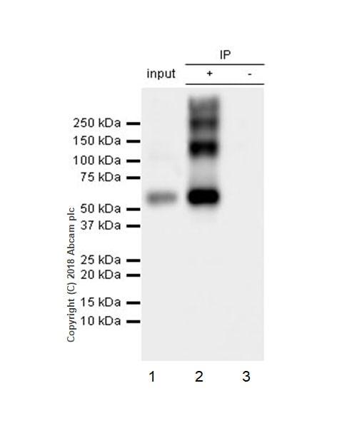 Immunoprecipitation - Anti-VGluT1 antibody [EPR22269] - BSA and Azide free (ab242017)