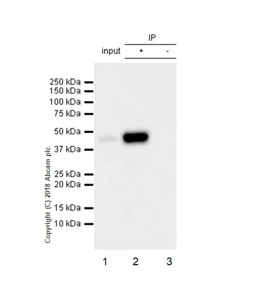Immunoprecipitation - Anti-NR2F6/EAR-2 antibody [EPR22260] - BSA and Azide free (ab242018)