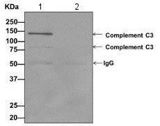 Immunoprecipitation - Anti-C3 / C3a antibody [EPR2987(2)(ABC)(B)] - BSA and Azide free (ab242042)