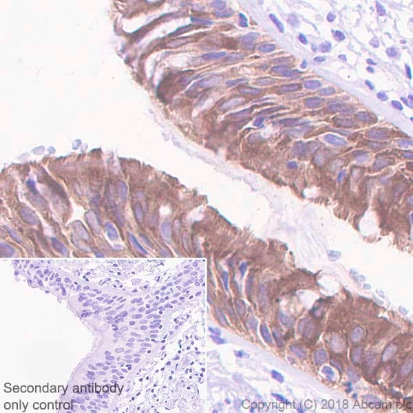 Immunohistochemistry (Formalin/PFA-fixed paraffin-embedded sections) - Anti-15 Lipoxygenase 1 antibody [EPR22136] (ab242062)