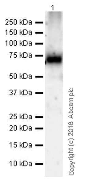 Western blot - Anti-15 Lipoxygenase 1 antibody [EPR22136] (ab242062)
