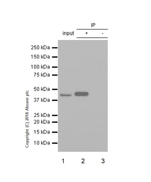 Immunoprecipitation - Anti-IDH1 antibody [EPR21002] - BSA and Azide free (ab242078)
