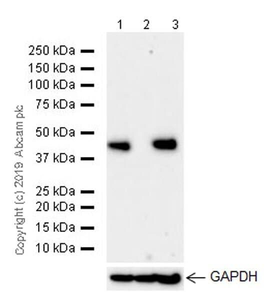 Western blot - Anti-IDH1 antibody [EPR21002] - BSA and Azide free (ab242078)
