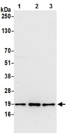 Western blot - Anti-TMEM109/Mitsugumin-23 antibody (ab242096)