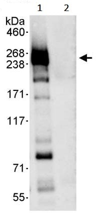 Immunoprecipitation - Anti-Chd1 antibody (ab242098)