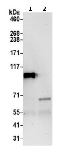 Immunoprecipitation - Anti-IARS2 antibody (ab242116)