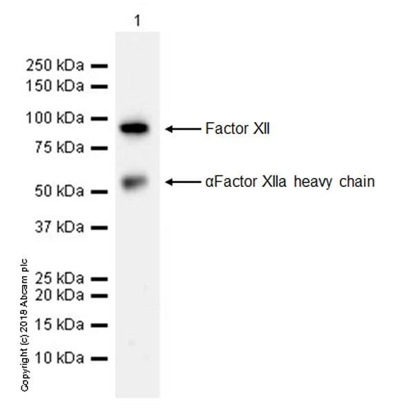 Western blot - Anti-Factor XII antibody [EPR22292-127] (ab242123)