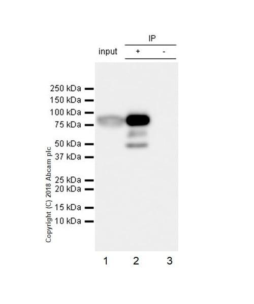 Immunoprecipitation - Anti-Factor XII antibody [EPR22292-127] (ab242123)