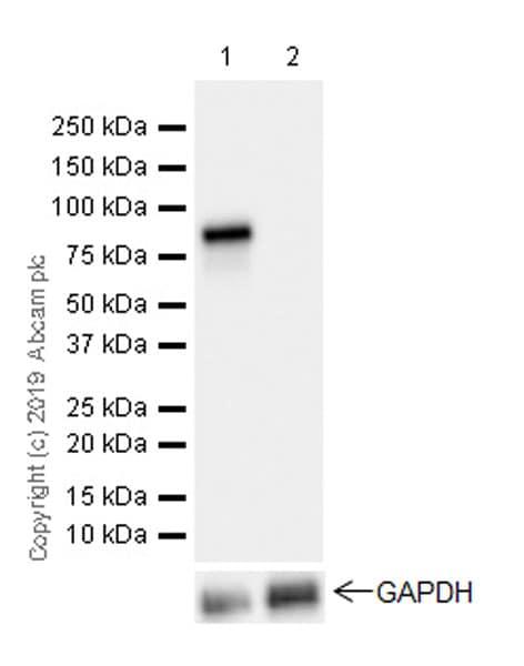 Western blot - Anti-HNF1 alpha antibody [EPR23054-142] (ab242140)
