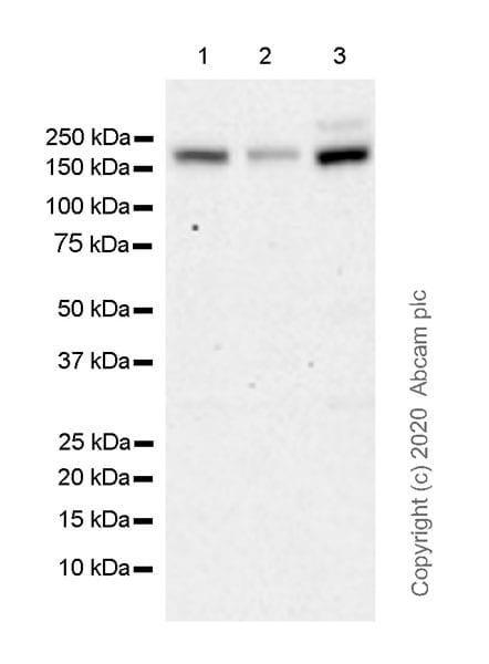 Western blot - Anti-Drosha antibody [EPR23046-123] (ab242147)
