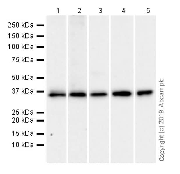 Western blot - Anti-EIF2S1 antibody [EPR23098-50] (ab242148)