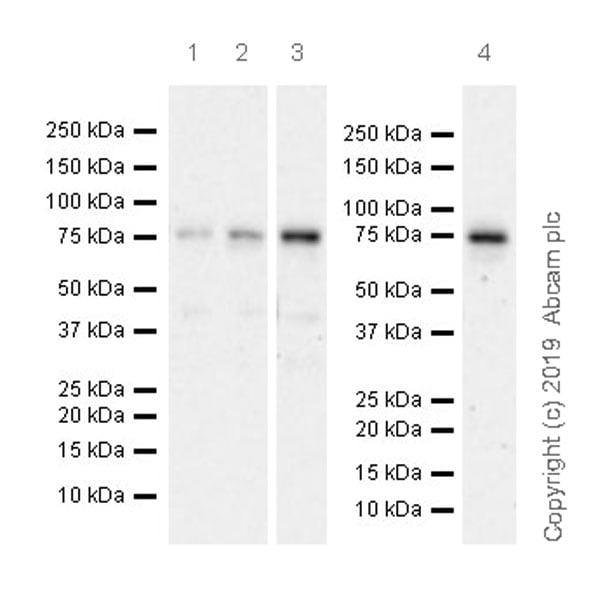 Western blot - Anti-CBX4 antibody [EPR23053-7] (ab242149)