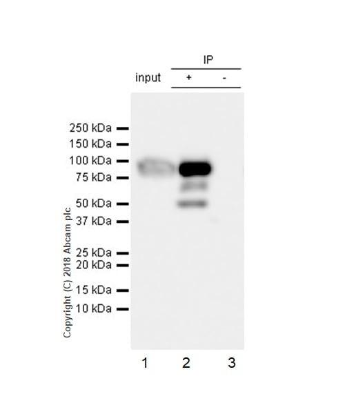 Immunoprecipitation - Anti-Factor XII antibody [EPR22292-127] - BSA and Azide free (ab242152)